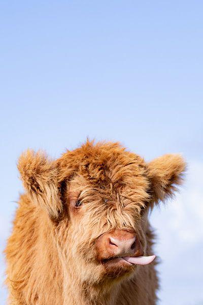 Drôle de veau des Highlanders écossais sur Mascha Looije
