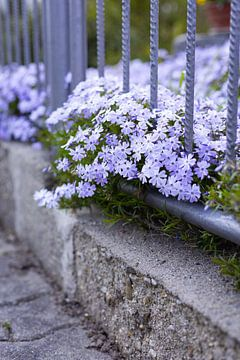 Lila Blüten am Wegesrand von Kerstin Marosi