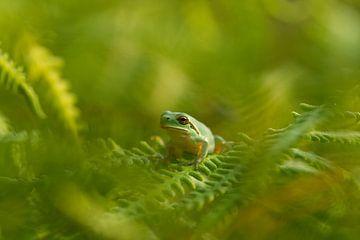 Baumfrosch in den grünen Farnen von Marianne Jonkman