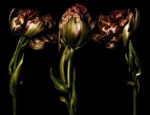 Drei Tulpen 2 von Henk Leijen