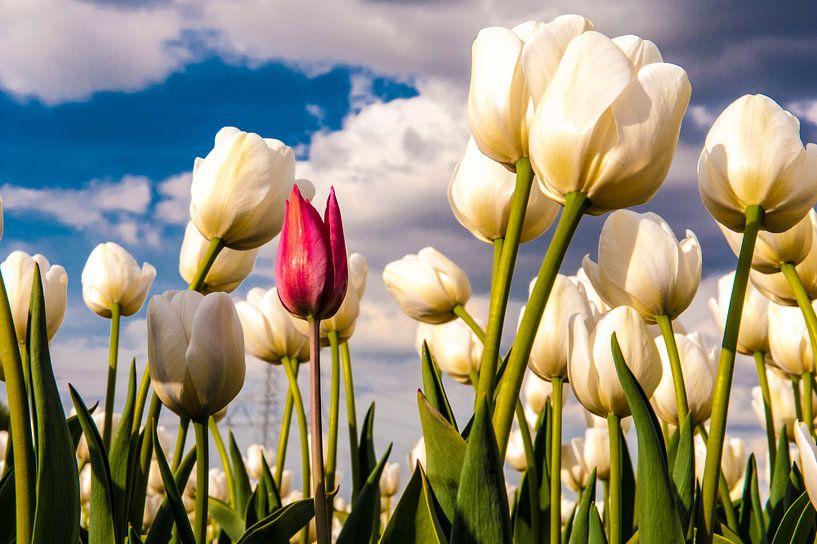 Verdwaalde rode tulp tussen een veld witte. van Brian Morgan