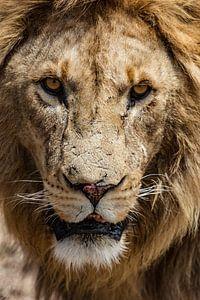 Starende Leeuw van