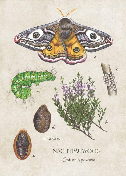 Nachtpauwoog - levenscyclus van Jasper de Ruiter