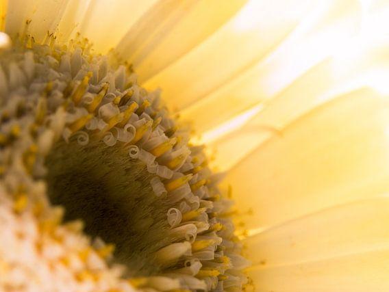 Gerbera / Bloem / Bloemblaadjes / Natuur / Licht / Oranje / Geel / Wit / Bruin / Close-Up Macro