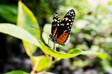 vlinder op blad van Tom Poelstra