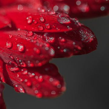 Gerbera rood 1  von John Ouwens