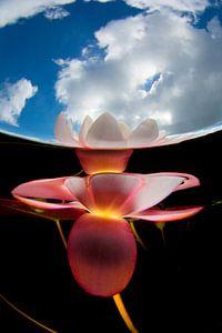 Waterlelie van Filip Staes