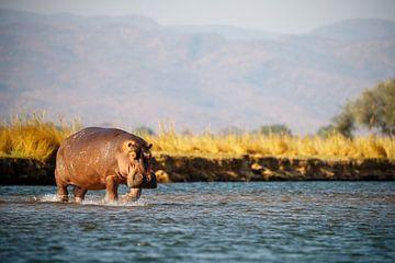 Nijlpaard, Mana Pools National Park, Zimbabwe van Marco Kost