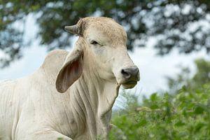 Asian cow in Costa Rica von Tim Verlinden