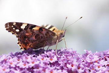 Schmetterling auf Schmetterlingsstrauch von Menno Pebesma