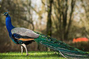 De kleurrijke pauw