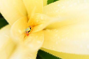 Rietkikker in een plant in Madagaskar van