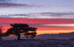 Oude dennenboom Regte Heide van Miranda Rijnen