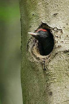 Schwarzspecht ( Dryocopus martius ), junges, fast flügges Männchen, schaut aus der Nisthöhle, wildli von wunderbare Erde