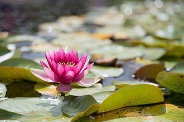 Seerose im Teich von Susanne Bauernfeind