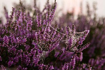 Spinnenkraut und Heidekraut bei Sonnenaufgang von Karijn | Fine art Natuur en Reis Fotografie