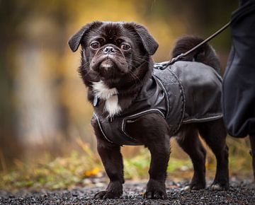 Een klein maa dapper hondje. van Hamperium Photography