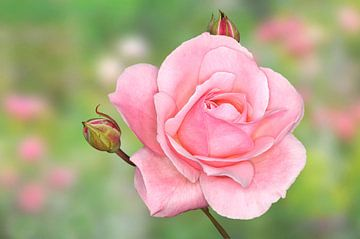 Roze roos van Jeannette Penris