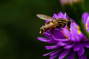 Schwebfliege auf der Suche nach Nektar auf lila Blume von Margriet Hulsker