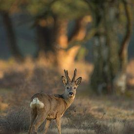 Roe Deer ( Capreolus capreolus ), strong buck in velvet, regrowing antlers, at the edge of a forest, van wunderbare Erde