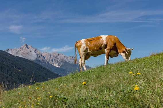 Rood-bonte koe op een alpenweide, Sillian, Ost-Tirol, Oostenrijk