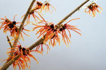 orange blühender Zaubernusszweig, Heilpflanze Hamamelis vor grauem Hintergrund mit Kopierraum, ausge von Maren Winter