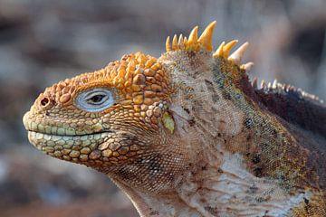 Leguaan op Galapagos van Marieke Funke