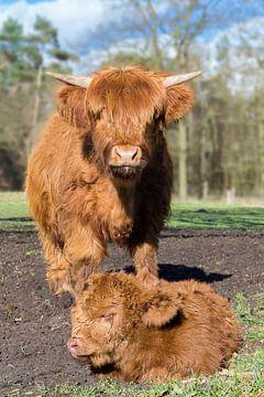 Schotse hooglander koe staat bij pasgeboren kalf van Ben Schonewille