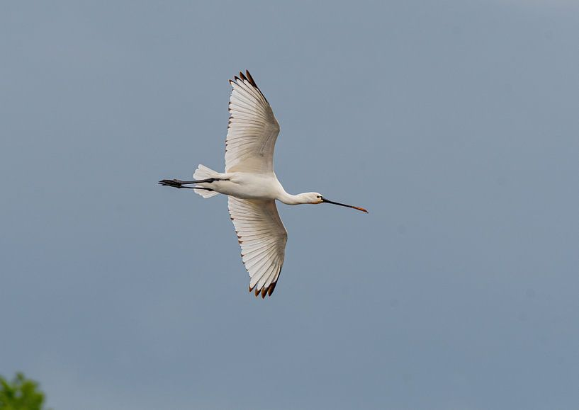 Fliegender Löffelreiher von Merijn Loch