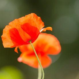 """Klaproos in de zon - """"Poppy"""" van Carla Boogaard"""