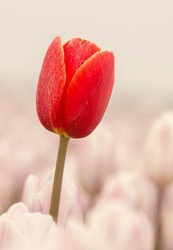 Rode tulp steekt boven  het veld uit von Michel Knikker