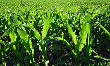 Maïsplanten tegen het licht van Ulrike Leone