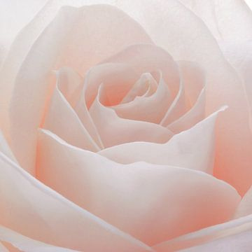 Pastel roze roos in close-up van