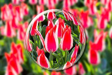 Glaskugel mit roten und weißen Tulpen in Blumenfeld in Keukenhof, Niederlande von Ben Schonewille