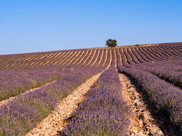 Lavendel veld in de Luberon met op de top van de heuvel van Hillebrand Breuker