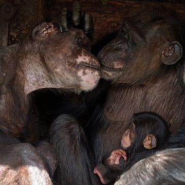 Chimpansee familie van gea strucks