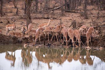 Drinkende impala's van Joop Bruurs