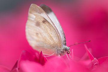 Vlinder in een roze wolk van hortensia. van Susan van Etten