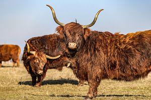Schotse hooglander met lange horens