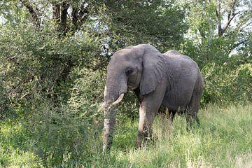 big elephant in kruger park von Compuinfoto .