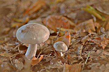 een paar paddestoelen / a pair of mushrooms van Pascal Engelbarts
