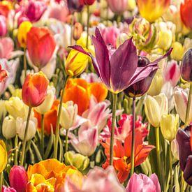 Kleurrijke tulpen van Koop je Canvas