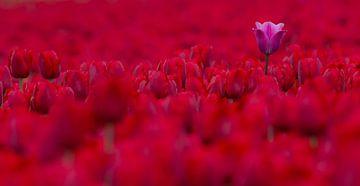 een paarse tulp in een veld vol rood wonderschoon van Bianca Fortuin