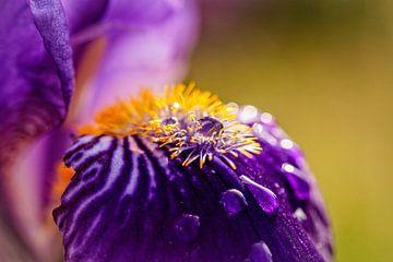 Iris van Rob Boon