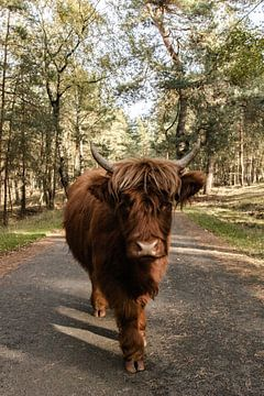Schottischer Highlander auf dem Veluwezoom von Youp Lotgerink