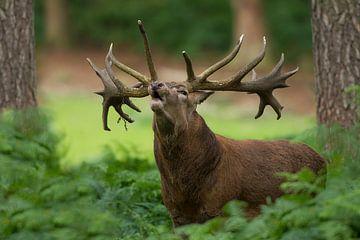 Bronze Rotwild in einer Waldlandschaft mit Farnen von Jeroen Stel