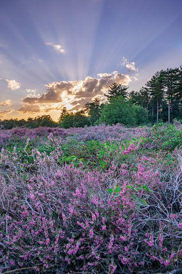 """Heide in bloei in """"de Maashorst"""" in Nederland"""