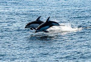 Dolfijnen duo van Kees Ham