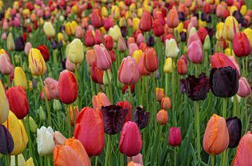 tulip field sur Claudia Moeckel