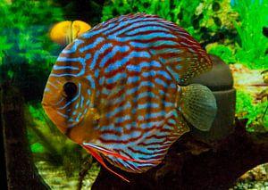 Diskusfische von aldino marsella